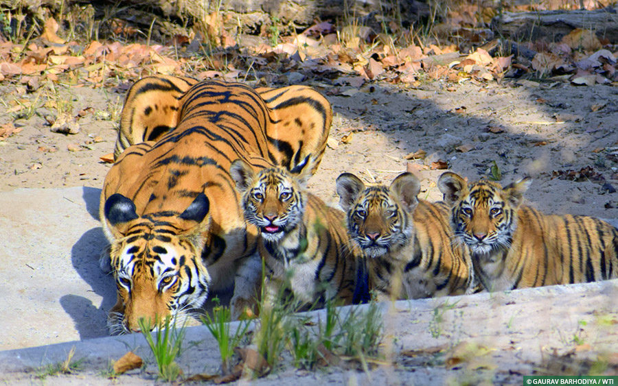 International Tiger Day 2018: How Royal Bengal Tiger thrives in India