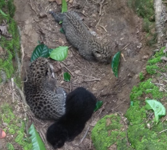 Three leopard cubs reunited with mother at Tea Estate, Tinsukia, Assam