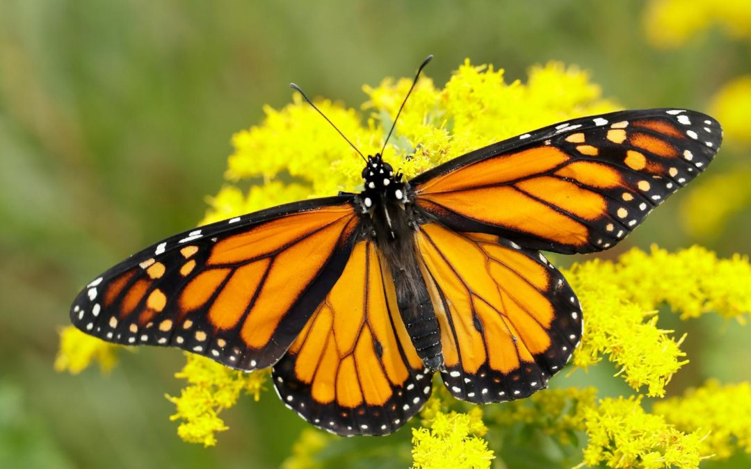 Efforts to Restore Critical Monarch Butterfly Habitat in Mexico