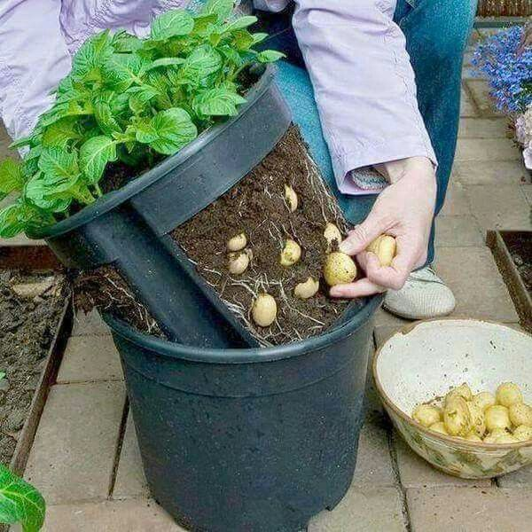Grow organic potato at home