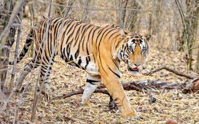 International Tiger day: Importance and Significance